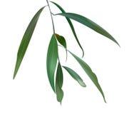 Illustration av eukalyptussidor Arkivbild