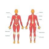 Illustration av mänskliga muskler Den kvinnliga kroppen Idrottshallutbildning Främre och bakre sikt Muskelmananatomi Royaltyfri Bild