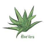 Illustration av medicinalväxten royaltyfri illustrationer