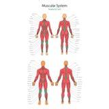 Illustration av mänskliga muskler Kvinnlig och manlig kropp Idrottshallutbildning Främre och bakre sikt Muskelmananatomi Royaltyfri Foto