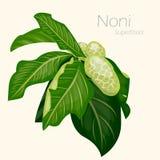 Illustration av nonien ny frukt för bakgrund Royaltyfri Foto