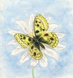 Illustration av vattenfärgfjärilen Apollo Fjäril Parnassius apollo Royaltyfri Foto
