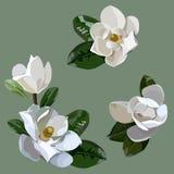 Illustration avec l'ensemble de fleurs de magnolia d'isolement Photographie stock libre de droits