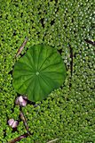 Illustration avec la fleur de lis, le concept aquatique vert et le fond photo stock
