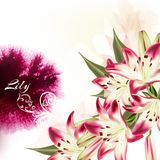 Illustration or background with pink lily flowers and watercolor Royalty Free Stock Photos