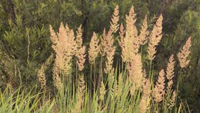 Illustration background texture concept: tall grass in the morning light, faded colors Royalty Free Stock Image