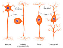 Illustration of basic neuron types. Drawing of the four major types of nerve cell Royalty Free Stock Photography