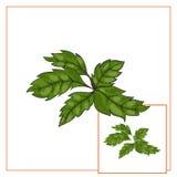 Illustration of basil leaves Stock Images