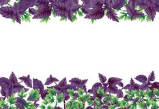 Illustration of Basil and parsley. Decor of liane. Illustration of Basil and parsley in rectangle. Decor of liane at the top and bottom, in the center of an Royalty Free Stock Image