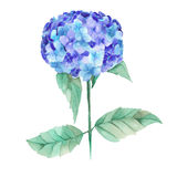 An illustration of the beautiful watercolor blue Hydrangea flowers Stock Photo