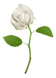 Illustration of a beautiful white rose Royalty Free Stock Image