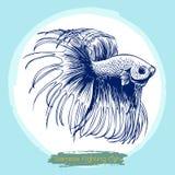 Illustration of Betta splendens, Siamese fighting fish. Freehand sketch illustration of Betta splendens, Siamese fighting fish doodle hand drawn Royalty Free Stock Photo
