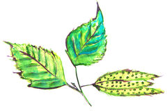 Illustration of birch leaves and seeds Stock Photos