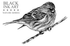 Illustration with bird Redpoll drawn by hand with black ink