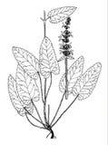 Illustration boatanical d'officinalis de Stachys Images stock