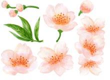 Illustration botanique d'aquarelle de la collection rose de fleurs d'éléments chinois de fleur avec les feuilles et la peinture d illustration de vecteur