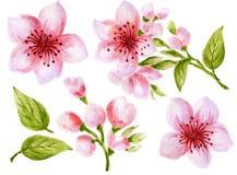 Illustration botanique d'aquarelle de la collection rose de fleurs d'éléments chinois de fleur avec les feuilles et la peinture d illustration stock