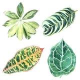Illustration botanique d'OIN variée tropicale de plusieurs feuilles Photographie stock