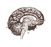 An illustration of brain sections. stock photos