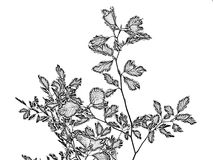 Illustration: branch with leaves Stock Photos