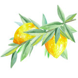 Illustration with  branch of lemons and green leaves painted in watercolor on a white background. Illustration with  branch of yellow lemons and green leaves Royalty Free Stock Photography