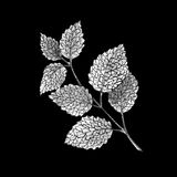 Illustration the branch of mint on black background, black and white. Hand-drawn sketch Vector Illustration