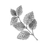 Illustration the branch of mint on white background, black and white. Hand-drawn sketch Stock Photo