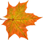 Illustration with bright autumn maple leaf Royalty Free Stock Image