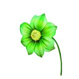 Illustration of Bright colorful Dahlia flower Royalty Free Stock Photography