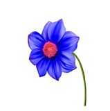 Illustration of Bright colorful Dahlia flower Royalty Free Stock Image