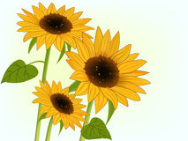 Illustration of bright sunflowers Stock Image