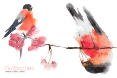 Illustration with bullfinch in watercolor. Watercolor illustration with bullfinch on the branch vector illustration