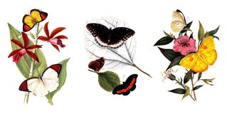 Illustration of butterflies and plants. Public domain. An epitome of the natural history of the insects of China. Bensley, 1798 Stock Photography
