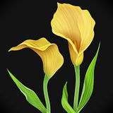 Illustration of calla lily flower and green leaves Stock Image