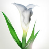 Illustration of calla lily flower and green leaves. Creative illustration of calla lily flower with green leaves isolated Royalty Free Stock Images