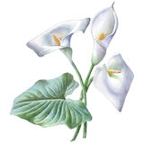 Illustration with calla. Royalty Free Stock Photo