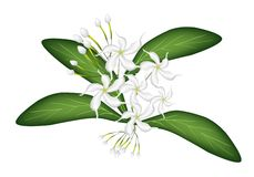 An Illustration of Cape Jasmine on Tree Royalty Free Stock Photography
