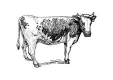 Illustration of cattle Stock Photos