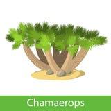 Illustration of the Chamaerops Royalty Free Stock Photo