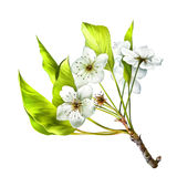 Illustration of Cherry blossom flowers with leaves. Cherry blossom flowers with leaves. Tree branch Royalty Free Stock Photo