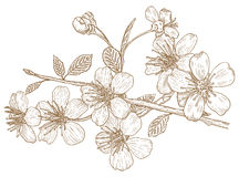 Illustration of Cherry blossoms. Illustration flowers of the cherry blossoms in vintage style Royalty Free Stock Images