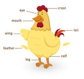Illustration of chicken vocabulary part of body Royalty Free Stock Image