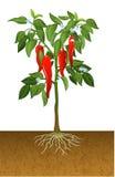 Illustration of chili pepper plant. Illustration of Illustration of chili pepper plant Stock Photo
