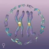 Illustration of Chromosomes - Female genotype Royalty Free Stock Photography