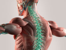 Illustration of chronic back pain. 3D illustration of human anatomy with chronic back pain highlighted Royalty Free Stock Images