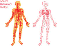Illustration of circulatory system Stock Images