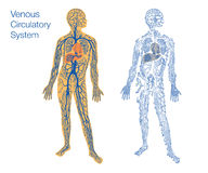 Illustration of circulatory system. Easy to edit vector illustration of venous circulatory system Stock Image