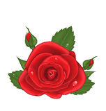 Close-up red rose isolated on white background. Illustration close-up red rose isolated on white background - vector Royalty Free Stock Photo
