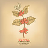 Illustration of coffee plants. Coffee. Illustration branch plant with fruits.  image on white background. Vector Stock Photography