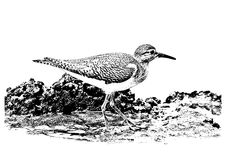 Illustration of common sandpiper Actitis hypoleucos walking on mud. Closeup of nature in George Town by Jason Crook. Stock Photo